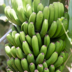 Auf der Nordinsel herrscht Subtropisches Klima sodass viele Früchte wie Bananen oder Maracujas angebaut werden
